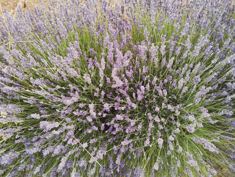 Part of beautiful lavender fields in Brihuega
