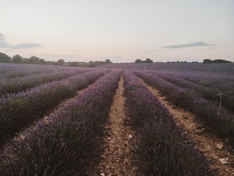 All purple at lavender fields Brihuega Spain